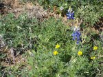 wild flowers on Texas RR152 between Llano and Castell