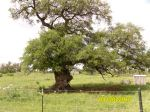 Llano County Road 226 seriously burled oak tree seen while cycling