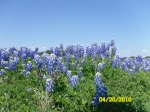 Bluebonnets near Shaw Island on lake Buchanan - Texas Hill Country