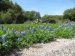 Bluebonnets on Llano, TX CR 312