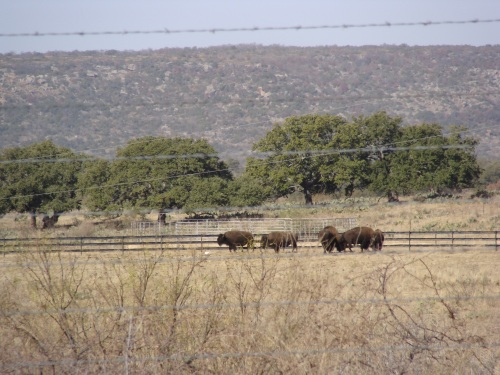 bison in a pasture across from the Paraie Mountain School in Llano County, TX